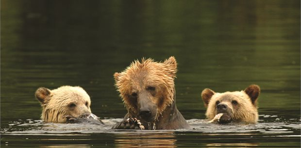 Adventure World Travel | Grizzly Bears of Knight Inlet