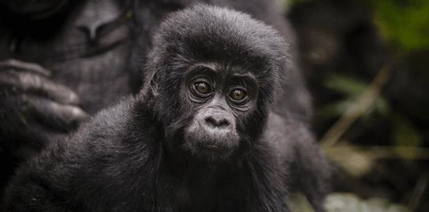 World Journeys | Magic of the Mountain Gorillas