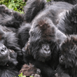 World Journeys | Gorillas & Golden Monkeys