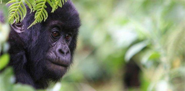 Adventure World Travel | Gorillas through the Mist