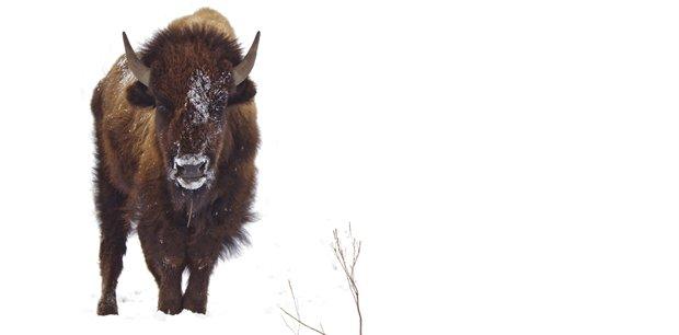 Adventure World Travel   Yellowstone Winter Wildlife