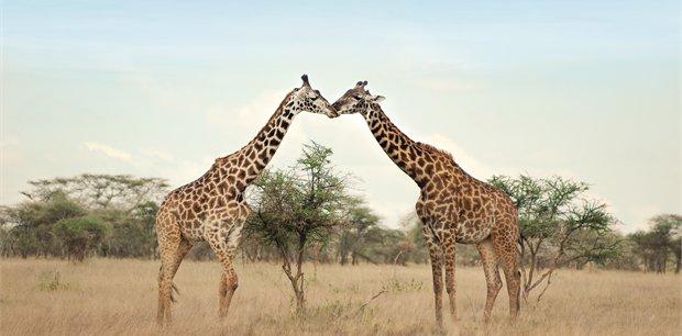 Adventure World Travel | Simba Safari