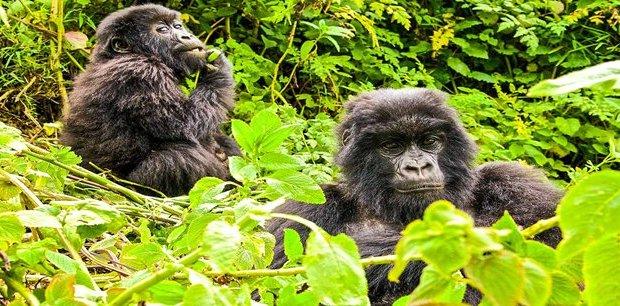 Contiki | Gorilla Trek