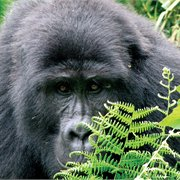 Intrepid   Gorillas & Game Parks