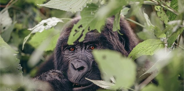 Intrepid | Gorillas & Game Parks